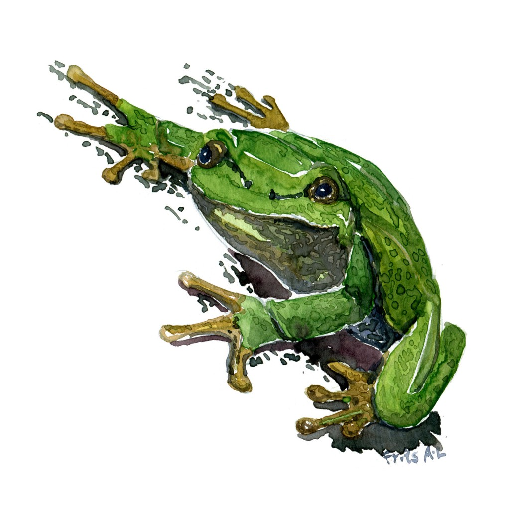 Watercolor of European Tree Frog, illustration by Frits Ahlefeldt