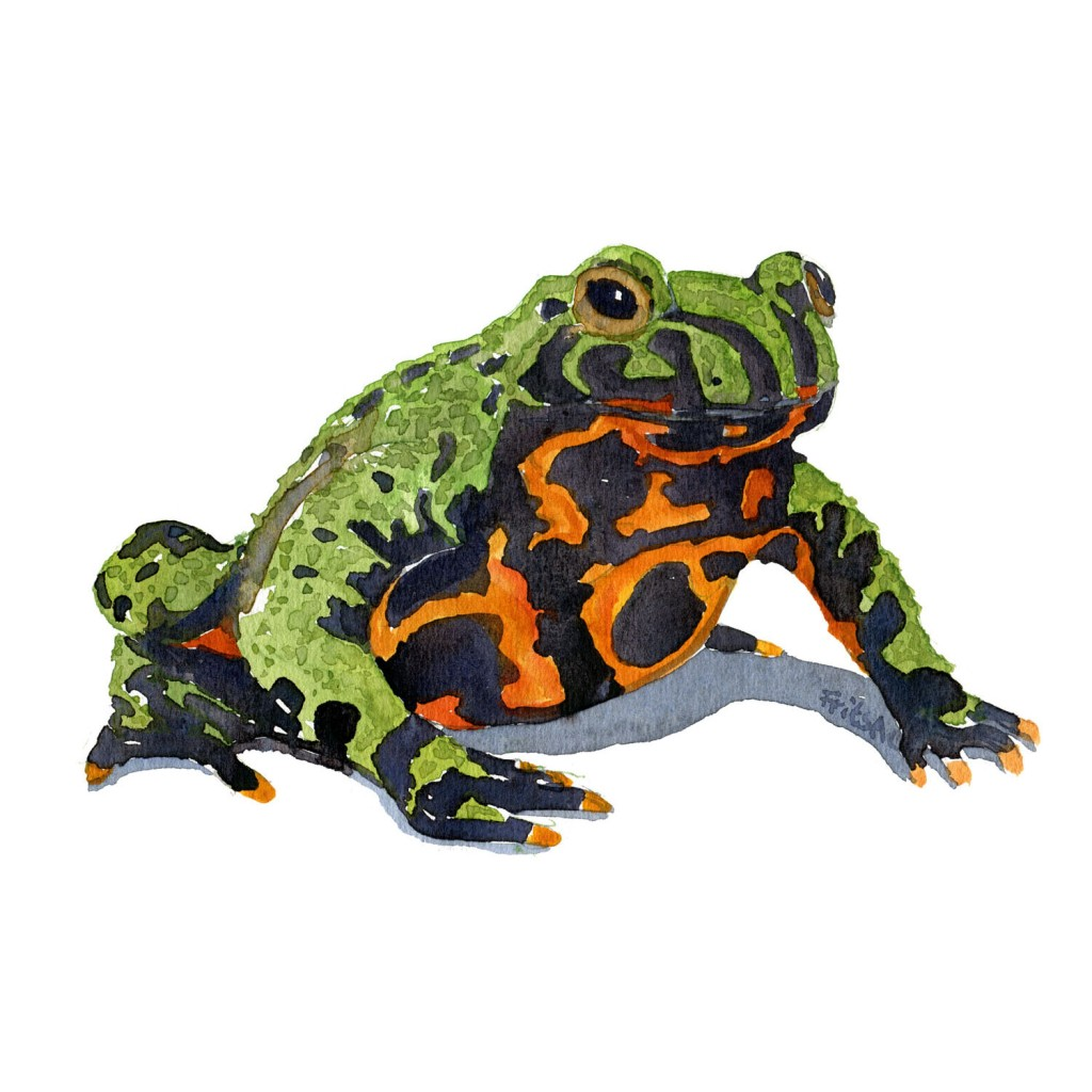 Watercolor painting of Fire bellied Toad. illustration by Frits Ahlefeldt
