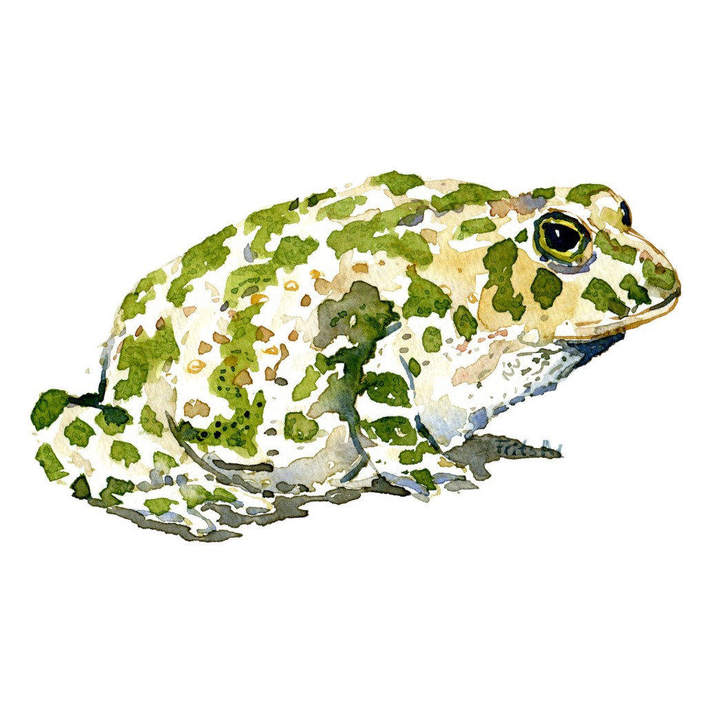 Watercolor of Green Toad - illustration by Frits Ahlefeldt