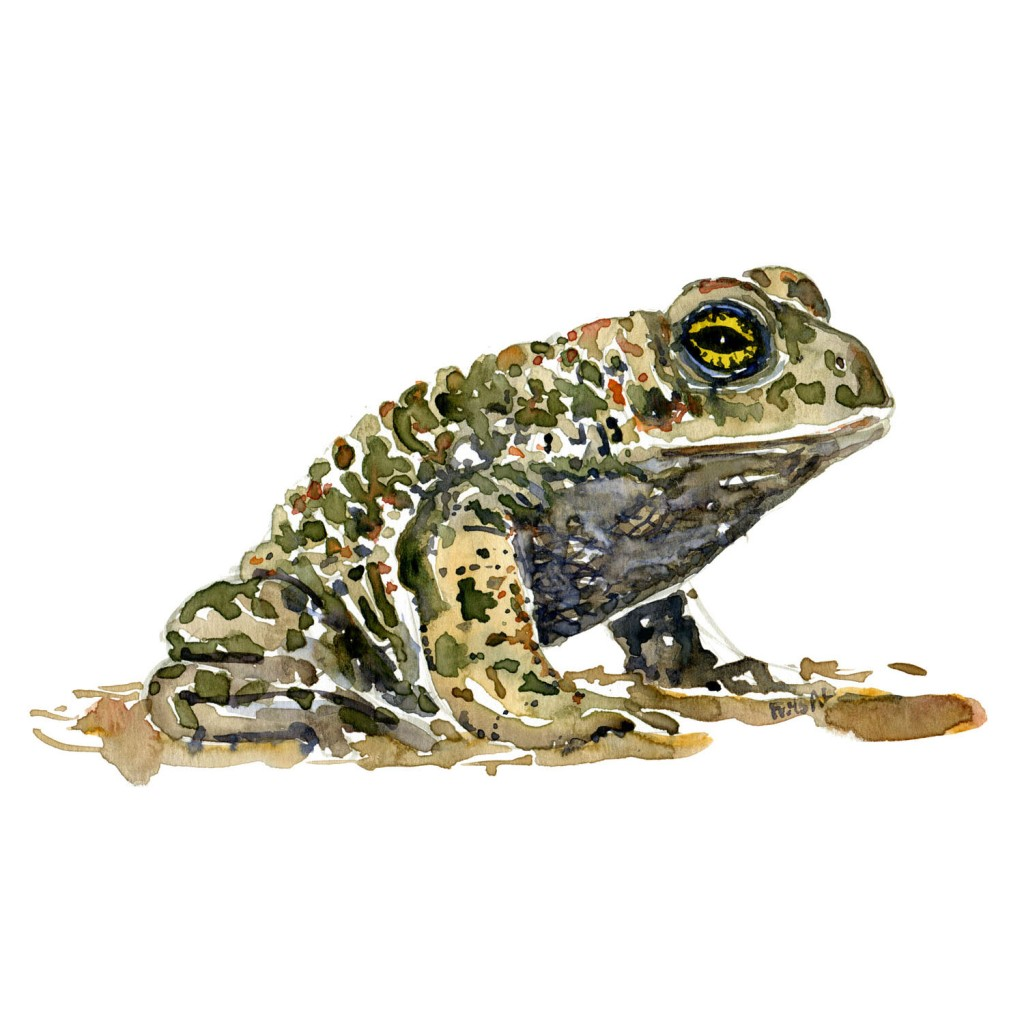 Watercolor of Natterjack Toad - illustration by Frits Ahlefeldt
