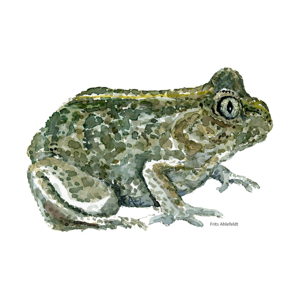 Watercolour of common spade toad - illustration by Frits Ahlefeldt