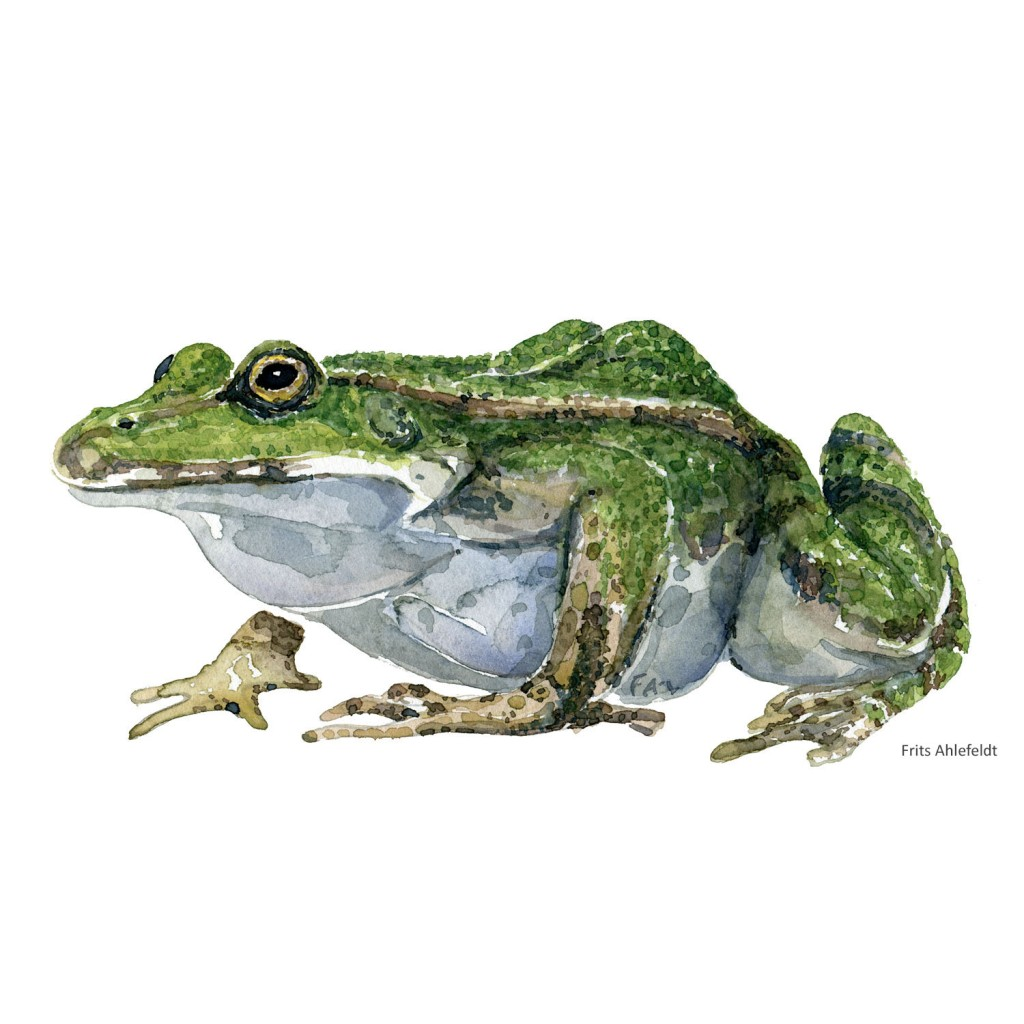 Watercolour of edible frog - illustration by Frits Ahlefeldt