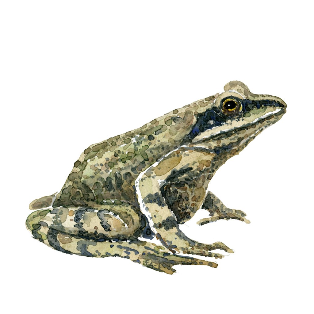 Watercolour of Moorfrog - illustration by Frits Ahlefeldt