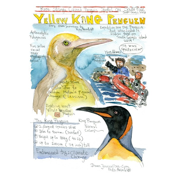 Yellow king penguin illustration - Drawn journalism by Frits Ahlefeldt