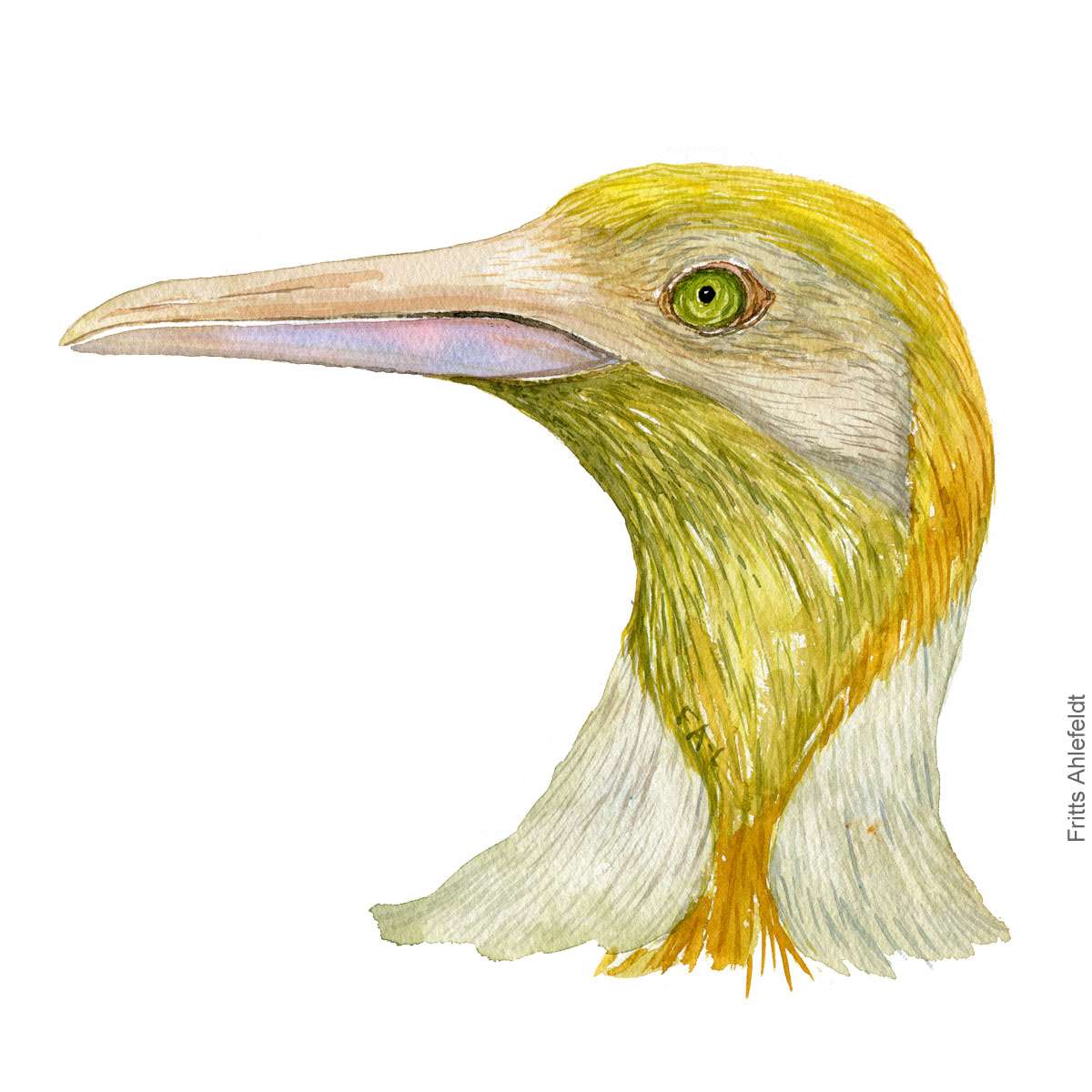 Head of yellow-king-penguin-Aptenodytes patagonicus-leucism drawn journalism by Frits Ahlefeldt