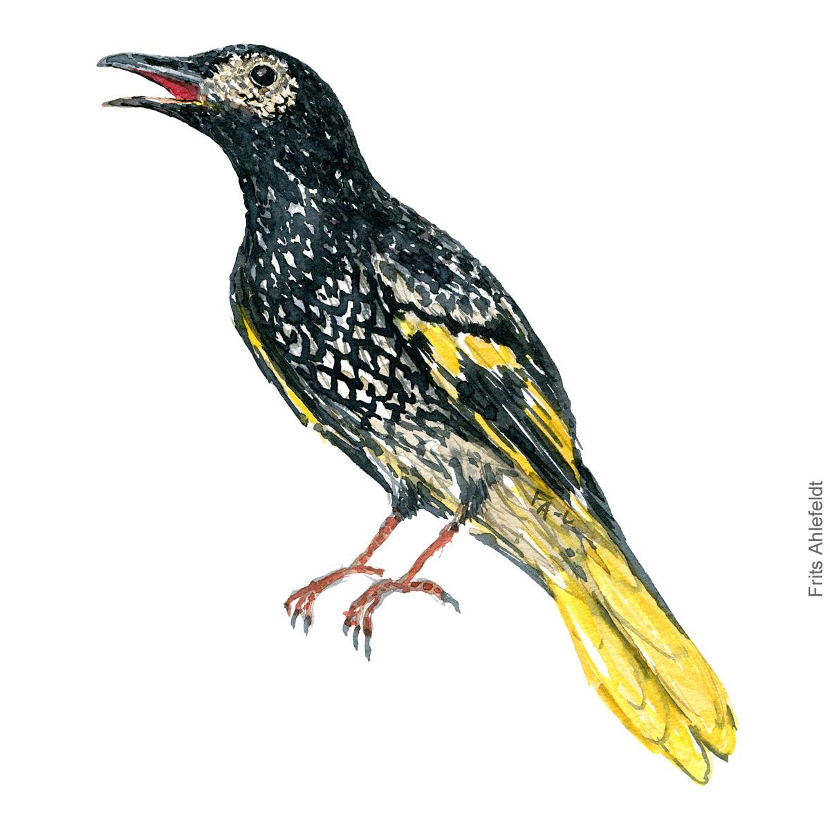 Watercolor illustration of Australian Honeyeater bird - artwork by Frits Ahlefeldt