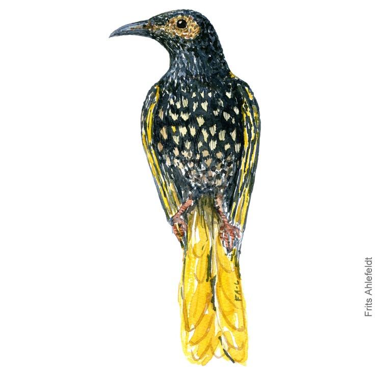 Watercolor illustration of Australian Regent honeyeater bird, watercolor by Frits Ahlefeldt